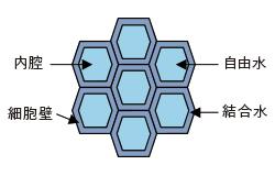 細胞断面(木口面)のイメージ図